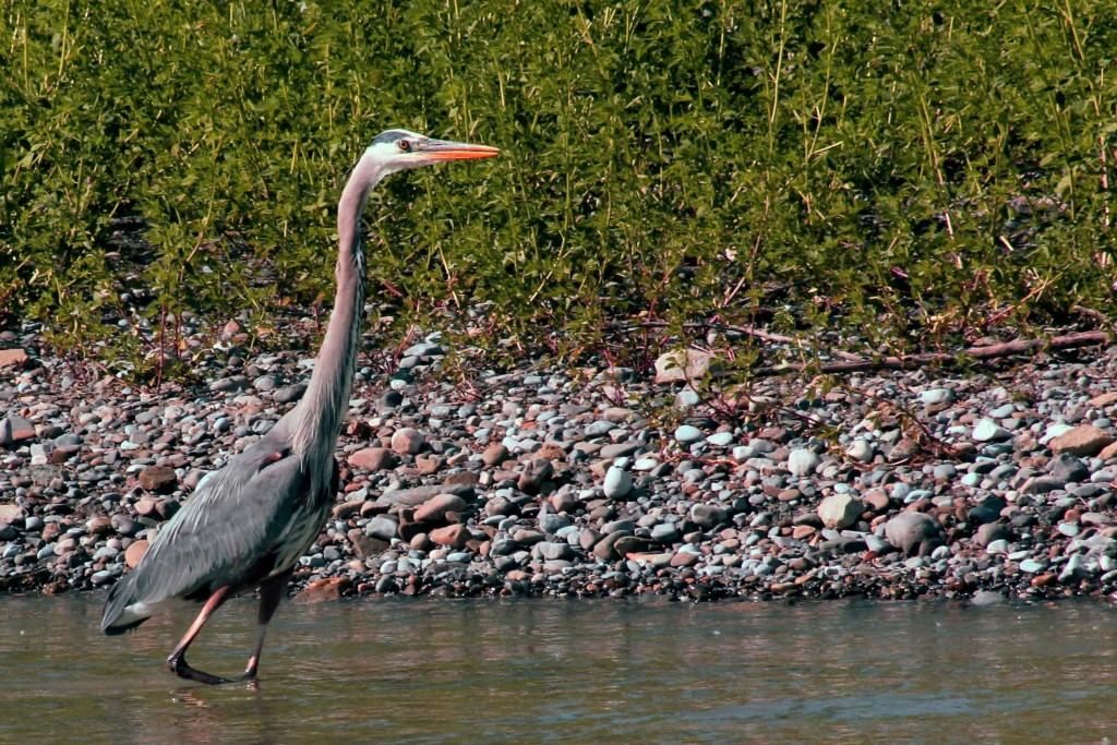 Blue Heron at Riverbend Campground