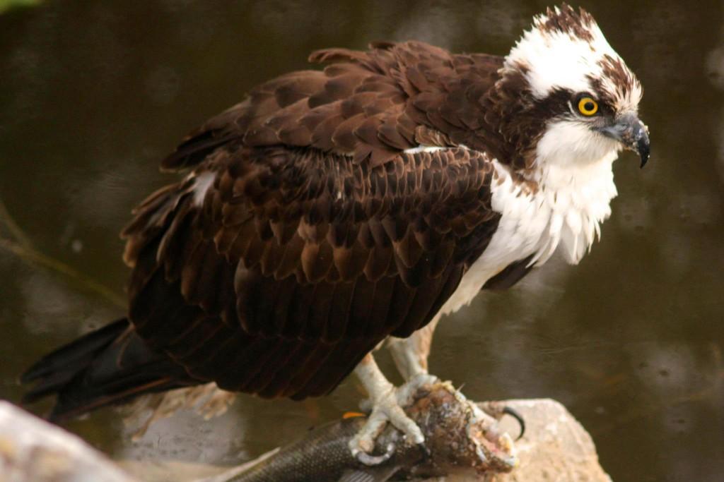 Osprey nesting near the lake at Riverbend Campground Okotoks