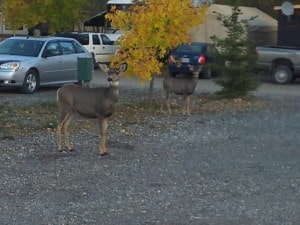 White tail Deer making Riverbend Campground Home