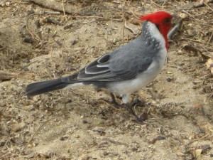 Red Crested Cardinal Riverbend Campground Okotoks