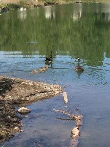 Canada Geese, goslings, pond, Riverbend Campground, Okotoks, south of Calgary Alberta.