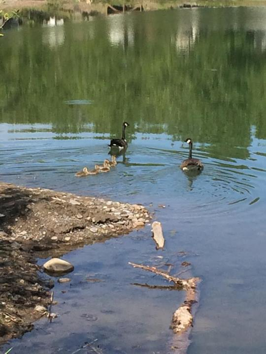 Canada Geese, goslings, pond, Riverbend Campground, Okotoks, south of Calgary Alberta.