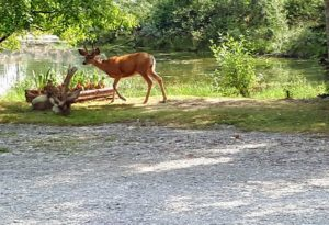 deer on shore of the pond at Riverbend Family Campground