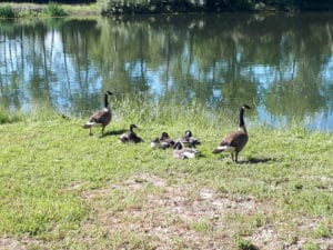 Canada Geese are among the many waterfowl that call Riverbend home.